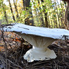 Unknown - This mushroom was huge, easily 10-12 inches in diameter.