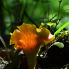 Chanterelle - I love finding mushrooms with sunlight lighting up their gills. This is quite possibly the edible Chanterelle mushroom (based upon the gills), but then it could be the poisonous Jack O' Lantern mushrooms. We will not be testing to find out.