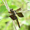 Libellula luctuosa - Widow Skimmer - Female