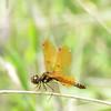 Perithemis tenera - Eastern amberwing - Adult Male