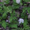 White Baneberry (Actaea pachypoda)