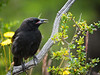 magellanic tapaculo or austral blackbird?