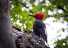 Magellenic Woodpecker