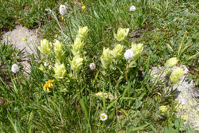 Different color Indian Paintbrush