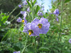 IMG_1073BlueWitchFlowers
