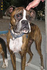 I tried to capture how sweet and friendly and well-socialized this very cheerful brindle Boxer was, but no, he looks tough and jaded, doesn't he? Photos can lie!
