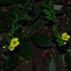 Smooth False Foxglove (Aureolaria patula)