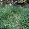 Tickweed