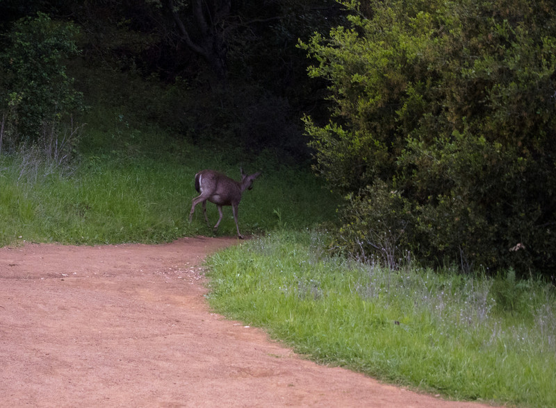 I arrived just in time to get the back side of this deer, looking a bit pregnant, heading off down the hill.