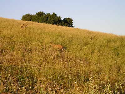 The buck continued to watch cautiously until his gal had made it a safe distance away from me.