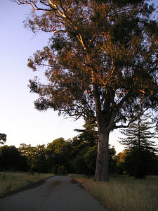 Eucalyptus side lit by the setting sun.