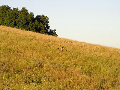 Same male deer on the same hillside--but he watched me very carefully as I approached.