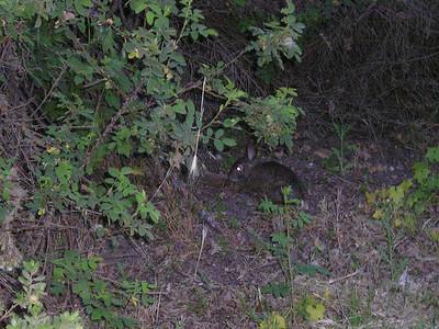 Rabbit crossed my path.