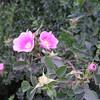Wild roses.