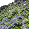 Wonderful meadow of Blue Bells. We also see plenty of wool from Mountain Goats, but no goat so far