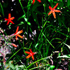 Fire Pinks (Silene virginica)