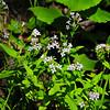 Woodland Bluets (Houstonia purpurea)