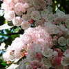 Mountain Laurel (Rhododendron calendulaceum)
