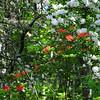 Flame Azalea (Kalmia latifolia) and Mountain Laurel (Rhododendron calendulaceum)