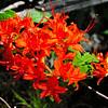 Flame Azalea (Kalmia latifolia)