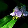 Mountain Spiderwort (Tradescantia subaspera var. montana)