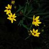 Wide-Leaved Sunflower (Helianthus decapetalus)