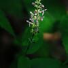 Clingman's Hedge-nettle (Stachys clingmanii)