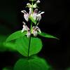 Heartleaf Hedge-nettle (Stachys cordata Riddell)