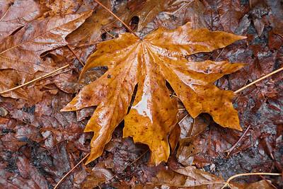 Autumn leaf on a rainy day.