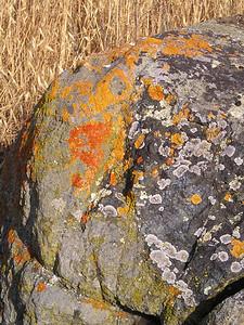 I'm lichen this rock. Ha ha?