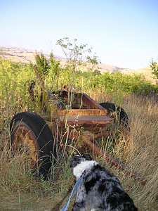 Boost bravely streeeeetched wayyyy out to investigate some ancient farm equipment left on the hillside to moulder away.