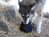 Tika gets a good drink at our first shady rest spot on Rocky Ridge.