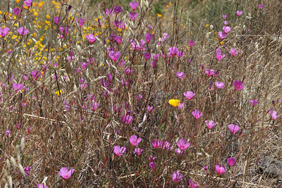 Experiments in photography: A mass of California poppies and Clarkia, from not too close.