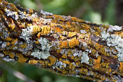 Lichen on a tree branch.