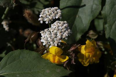 Seep-Spring Monkeyflowers (Mimulus guttatus) and Yarrow (Achillea lanulosa)