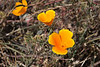 California poppies, solid gold.