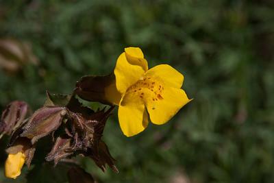 Seep-Spring Monkeyflowers (Mimulus guttatus)