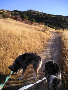 The first half mile of trail was a narrow hiking track with tall, dry grass close on either side. You know what this means--foxtails! Ticks! I kept the canine crowd moving along quickly--most of the time.