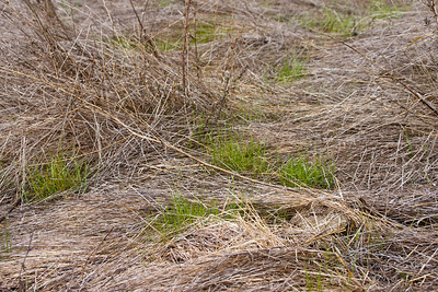 We had some rain earlier; the new winter grass is just beginning to appear among last year's dried stalks.