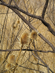 I love looking at the different shapes of seed heads, even if they are extremely invasive nonnatives.