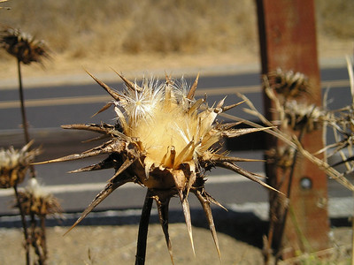 Thistle seed head.