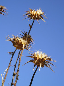 Thistle seed heads.