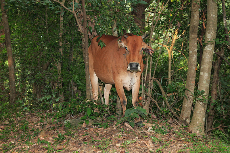 Shing Mun Country Park, Wilson Trail Stage 7, Cow