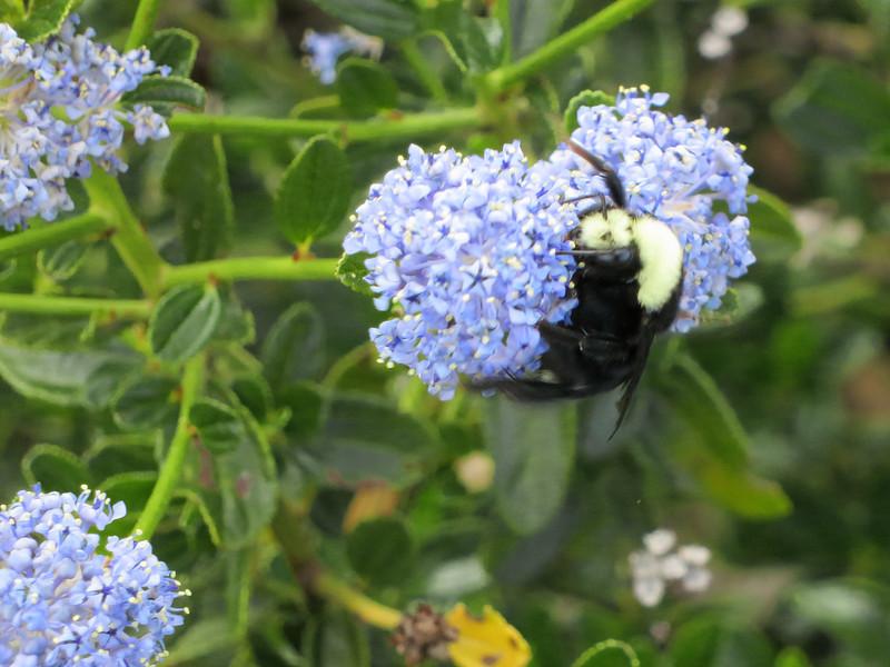 Bee on ceanothus.