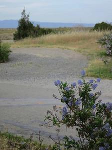 Blue-flowered ceanothus branch at entrance to Shoreline park.