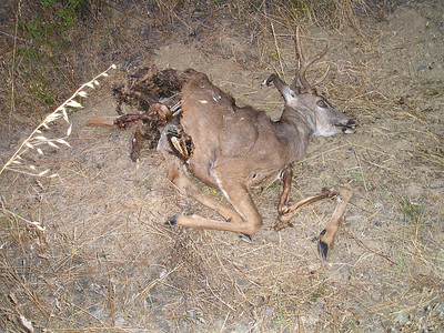 No idea how this deer came to his end--mountain lion? hit by car on nearby road?--but the scavengers have been hard at work.