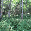 Good example of birch forest and fern glades