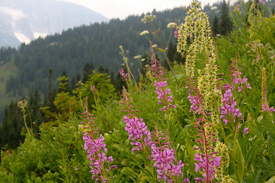 Fireweed and Hellebore flower ?