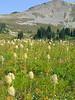 Meadow of Pasqueflower below Cloudy Pass.