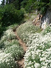 Sea of Pearly Everlasting on the east side of Buck Creek Pass.